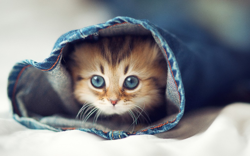 4479 geodir upload special Cute Cat in Pent HD Background